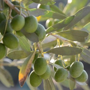 semproniano-olivo